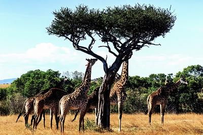 Maasai Mara Giraffss
