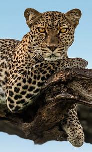 Resting Cheeta