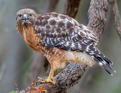 Red Shoulder Hawk Protecting Food