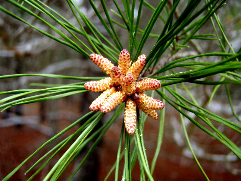 Baby pines.