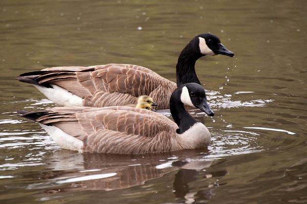 Doug's Canada Geese Spring 2012