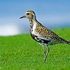RM Pacific Golden Plover 700_4375
