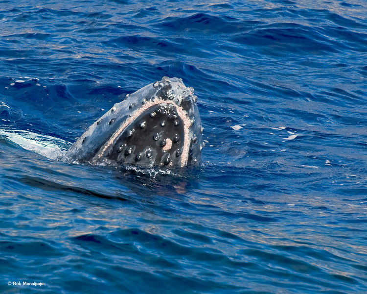 RM 700_4687<br /> <br /> Head Rise (aka Spyhop)<br /> A whale slowly rises vertically toward the surface, poking its head out of the water to below its eyes. Some believe this behavior allows the humpback whale to get a better look at activity going on above the surface.