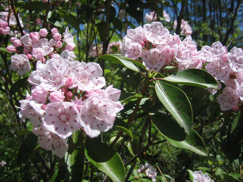 Mountain Laurel<br /> PHOTO CREDIT: Sandra Friend / Florida Trail Association