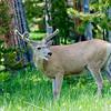RM_11481 Buck by Bridge Bay