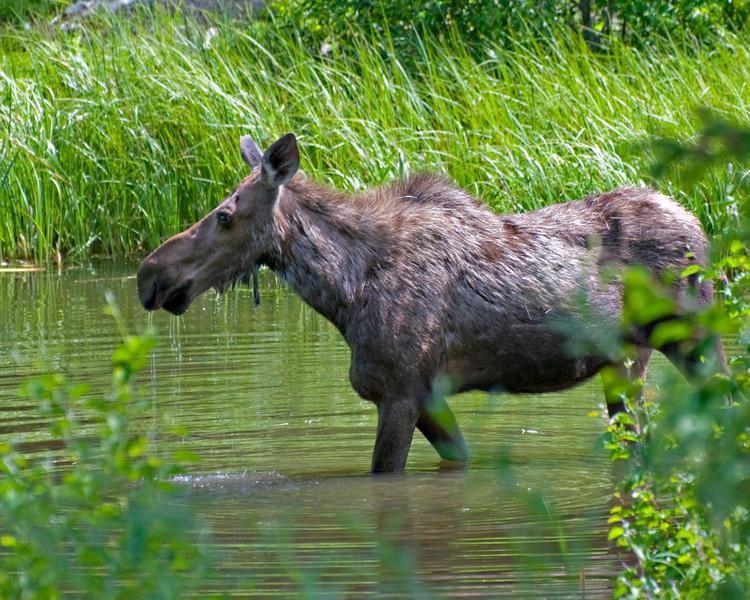 RM_11846 Moose outside East entrance near Pahaska Tepee
