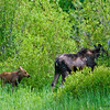 RM_12110 Mom and Baby moose outside East entrance