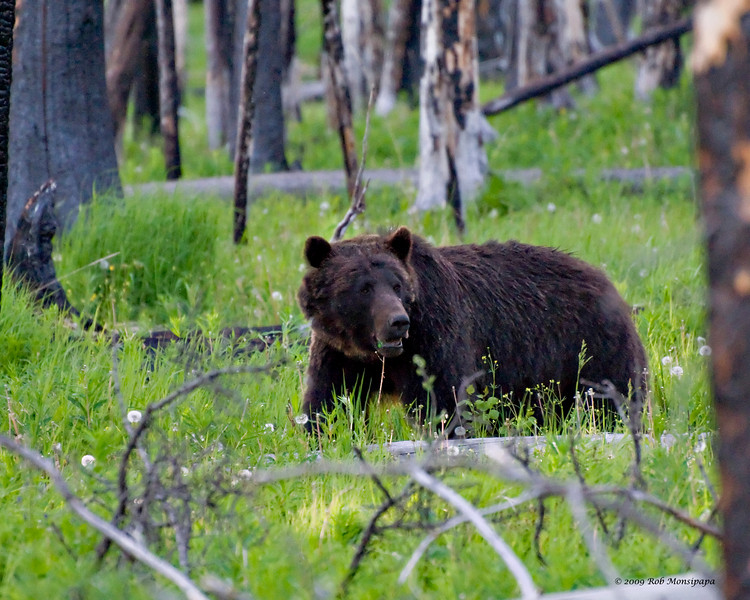 RM_12317 Grizzly bear a few miles East of Cub Creek
