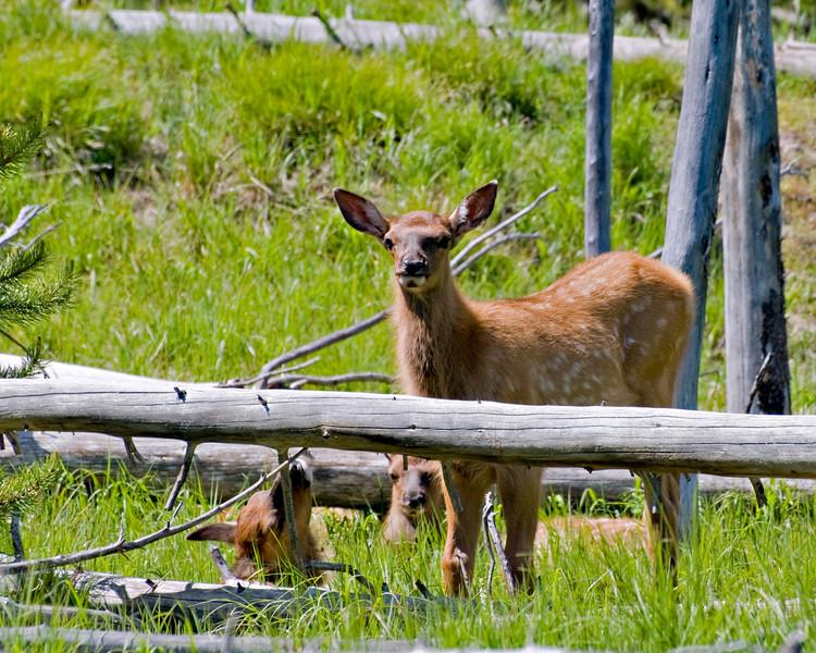 RM_11458 Three new born Elk outside Grant Village entrance