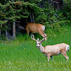 RM_11752 Two Bucks north of West Thumb