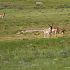 RM_12579 Pronghorn in southern Wyoming