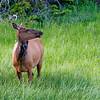 RM_11433 Elk outside Grant Village camp grounds