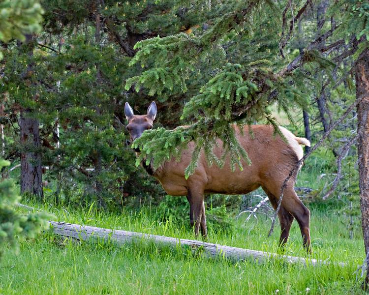RM_11366 An Elk hiding in West Thumb