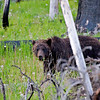 RM_12330 Grizzly bear a few miles East of Cub Creek
