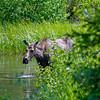 RM_11807 Moose outside East entrance near Pahaska Tepee