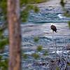RM_11686 Bald Eagle fishing on Yellowstone River
