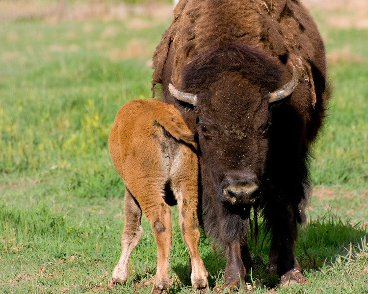 RM_11330 Bison with baby in Zion Natl Park