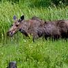 RM_11946 Moose outside East entrance near Pahaska Tepee