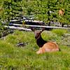 RM_11446 Elk outside of Grant Village entrance