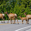 RM_11571 Elk family crossing on the way to the West Entrance
