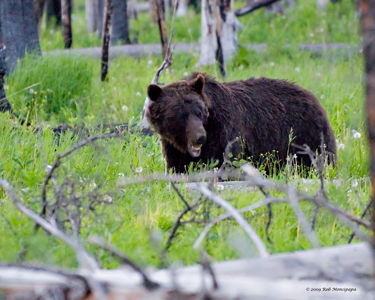 RM_12322 Grizzly bear a few miles East of Cub Creek
