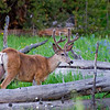 RM_11740 Buck north of West Thumb