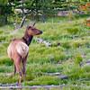RM_11395 Elk outside Grant Village camp sites