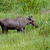 RM_12103 Moose outside East entrance near Pahaska Tepee