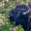RM_11708 Bison at Sulphur Caldron