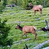 RM_11421 Elk outside Grant Village camp sites