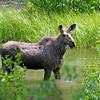 RM_11921 Moose outside East entrance near Pahaska Tepee