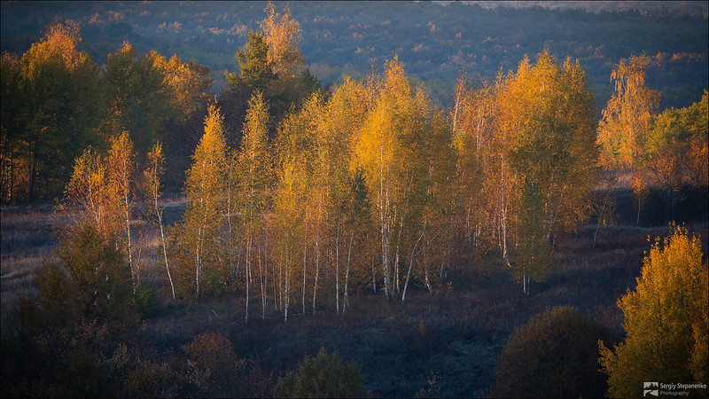 Golden Birches | Золочёные берёзки