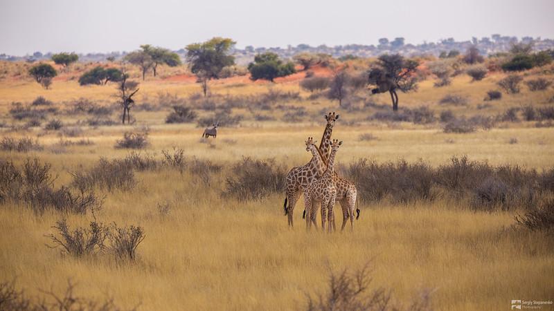 Family of Giraffes and Oryx | Семья жирафов и орикс