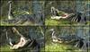 Alligator warning photographer she's getting too close!<br /> Shark Valley, Everglades National Park, FL