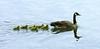 Canada goose family<br /> James River, Richmond, VA