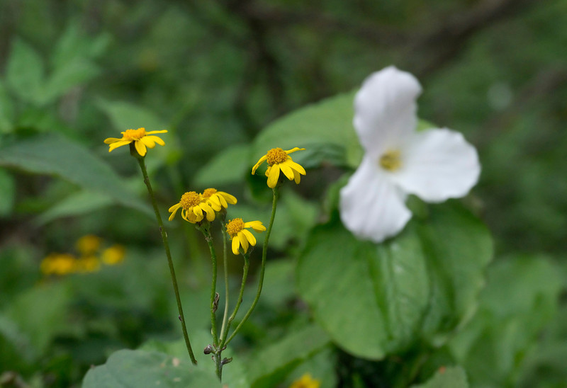 Golden ragwort (<I>Packera aurea</I>) & large-flowered trillium (<I>Trillium grandiflorum</I>) Blue Ridge Parkway, NC (Milepost ~ 367)