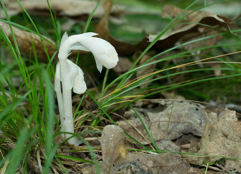 Indian pipe (<i>Monotropa uniflora</i>) fresh flowers Parasitic on fungi which are mycorrhizal with trees (mycoheterotroph) Catoctin Mountain Nat'l Park, Frederick County, MD