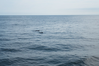 Minke Whales outside Portsmouth, Maine Harbor.