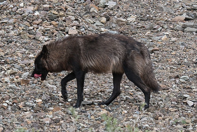 Wolfie licking the Caribu off his chops, Denali National Park, Alaska.