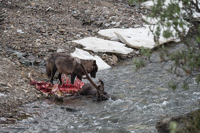 Wolf eating a Caribu in Denali National Park, Alaska.