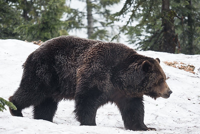 Coola the Grizzly Bear at the top of Grouse Mountain, Vancouver, B.C.
