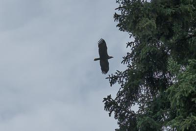 Bald Eagle flying over the Athabaskan Village in Fairbanks, Alaska.