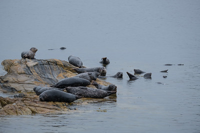 Stellar Sea Lions in the stratis near Ketchikan, Alaska.