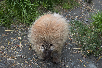 Porcupine at the Alaska Wildlife Preservation Center in Kenai, Alaska.