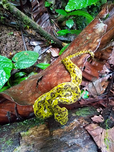 Yellow Viper in Hanging Bridges Park in Costa Rica.
