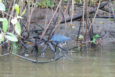 Little Blue Heron in Tortuguero National Park.