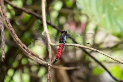Red Tailed Dragonfly in the Veragua Rainforest.