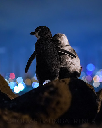 Fairy Penguins watching Melbourne Skyline 2 Portrait