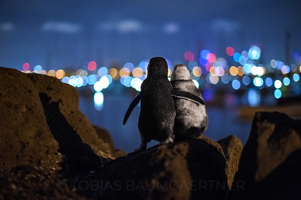 Fairy Penguins watching Melbourne Skyline 1 Landscape