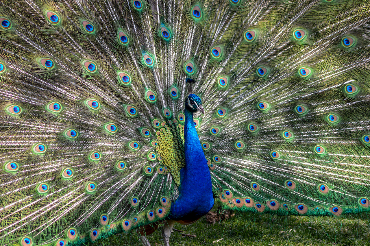 Let Me See Your Peacock